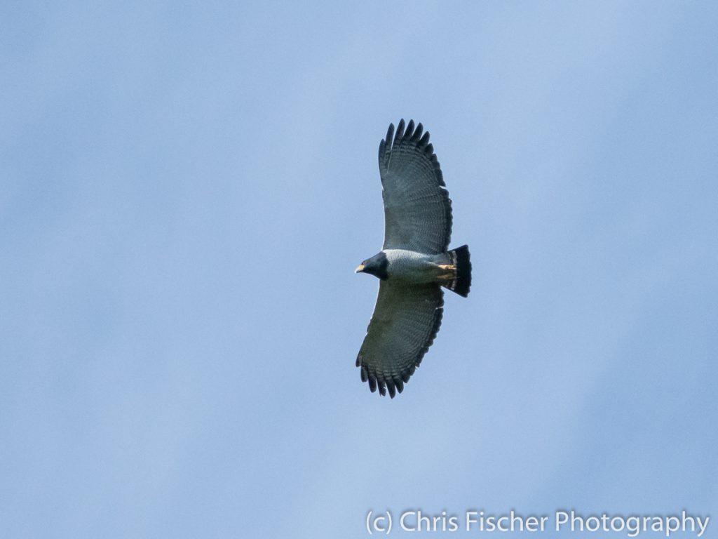 Barred Hawk, Río Rocas, Costa Rica