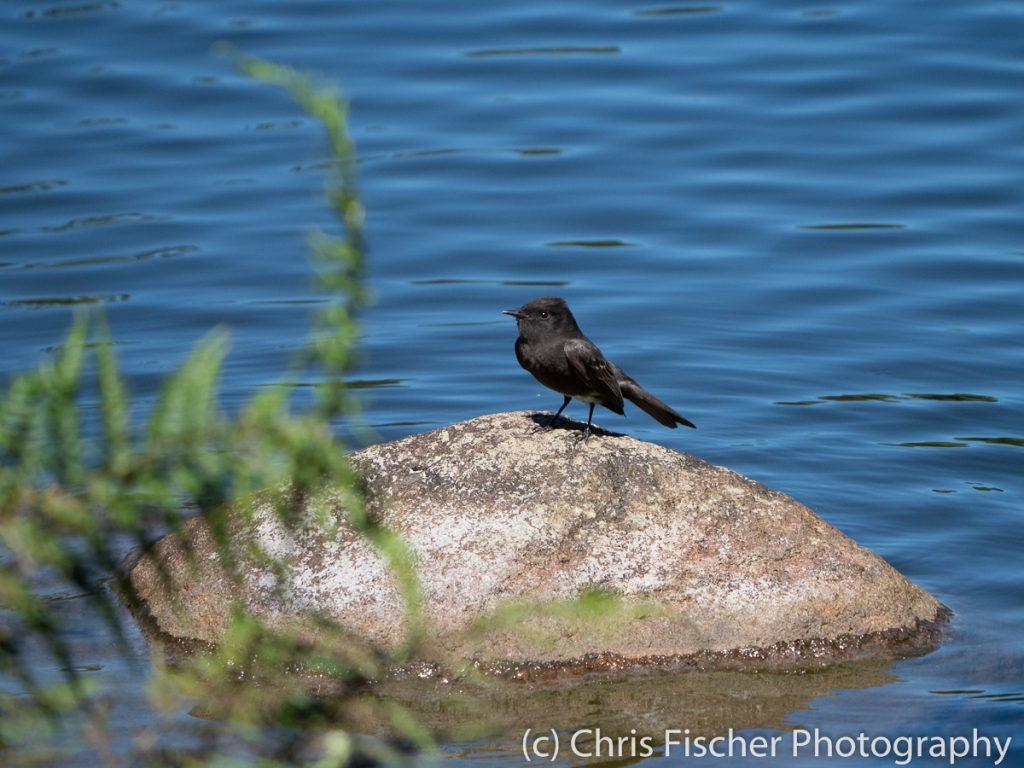 Black Phoebe, Paraíso del Bosque, Costa Rica