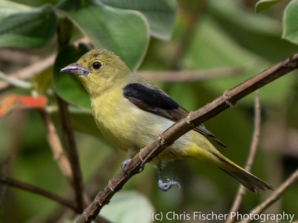 Scarlet Tanager, Río Rocas, Costa Rica