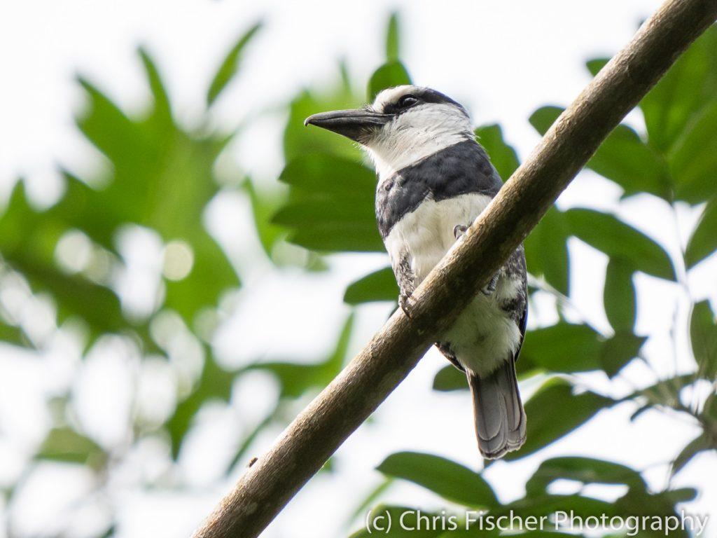 White-necked Puffbird, EARTH University, Guácimo, Costa Rica