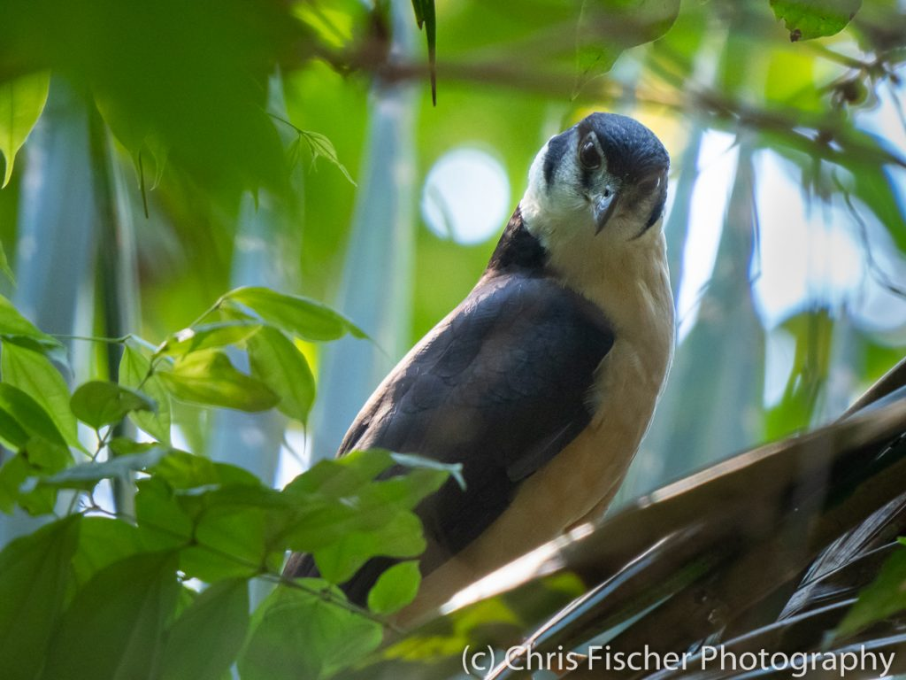 Collared Forest-Falcon, Curú National Wildlife Refuge, Costa Rica