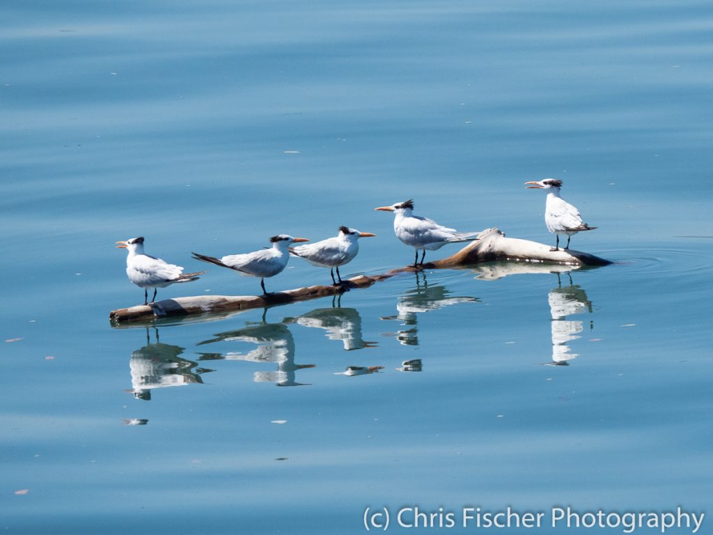 Royal Terns, Gulf of Nicoya, Costa Rica
