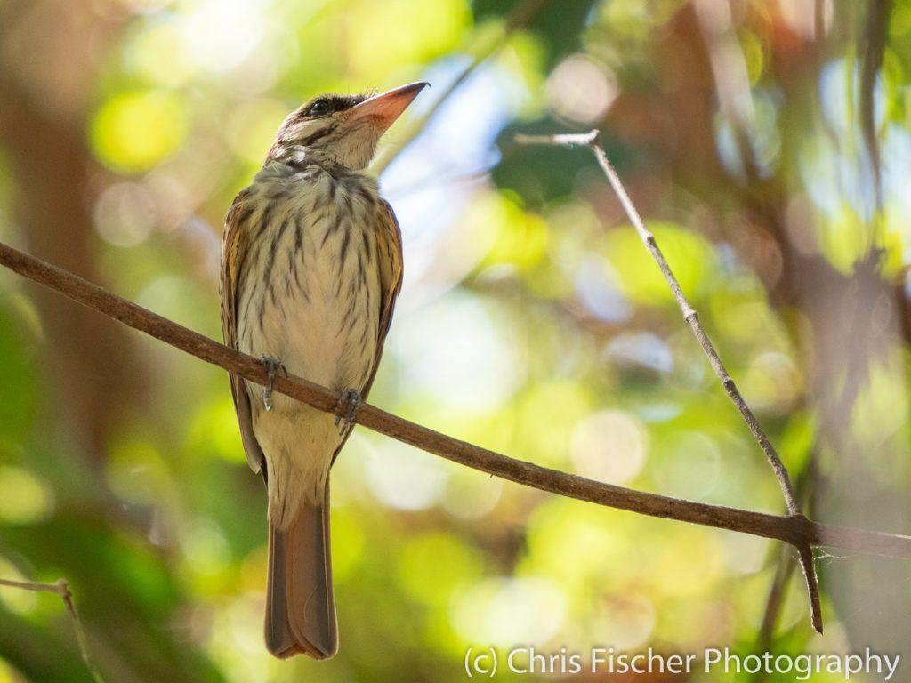 Streaked Flycatcher, Curú National Wildlife Refuge, Costa Rica