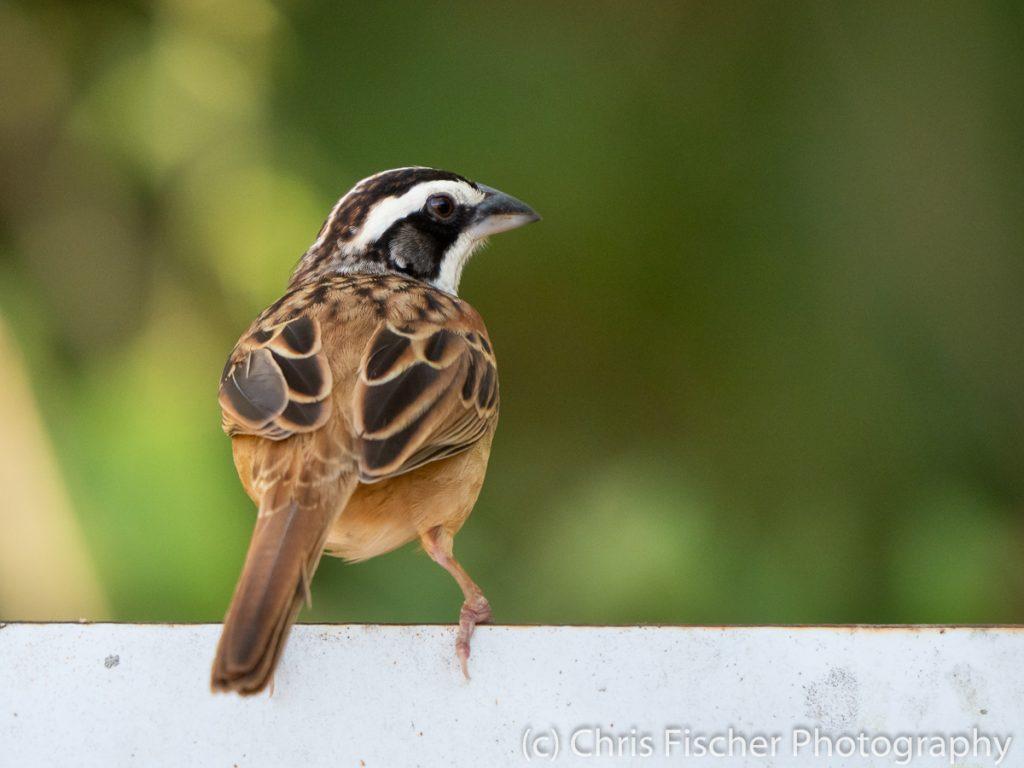 Stripe-headed Sparrow, Curú National Wildlife Refuge, Costa Rica