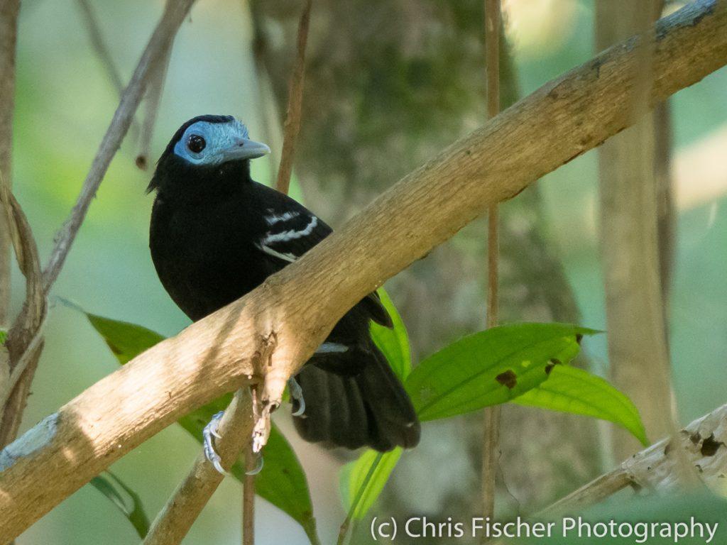 Bare-crowned Antbird, Caño Negro Wildlife Refuge, Costa Rica
