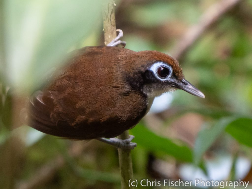 Bicolored Antbird, Las Heliconias Rainforest Lodge, Bijagua, Costa Rica