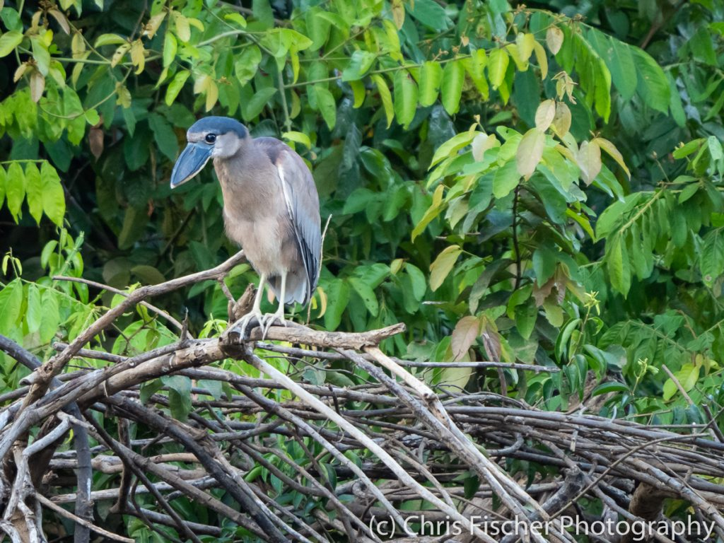 Boat-billed Heron, Caño Negro Wildlife Refuge, Costa Rica