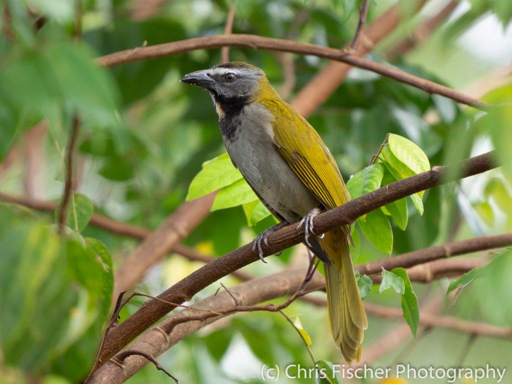 Buff-throated Saltator, Posada Rural Oasis, Caño Negro Wildlife Refuge, Costa Rica