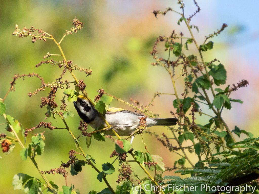 Golden-winged Warbler, Posada Rural Oasis, Caño Negro Wildlife Refuge, Costa Rica