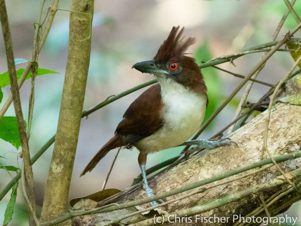 Great Antshrike (female), Caño Negro Wildlife Refuge, Costa Rica