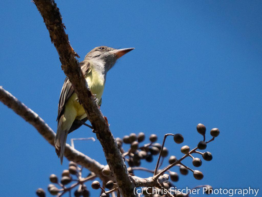 Great-crested Flycatcher, Lomas de Barbudal Reserve, Costa Rica