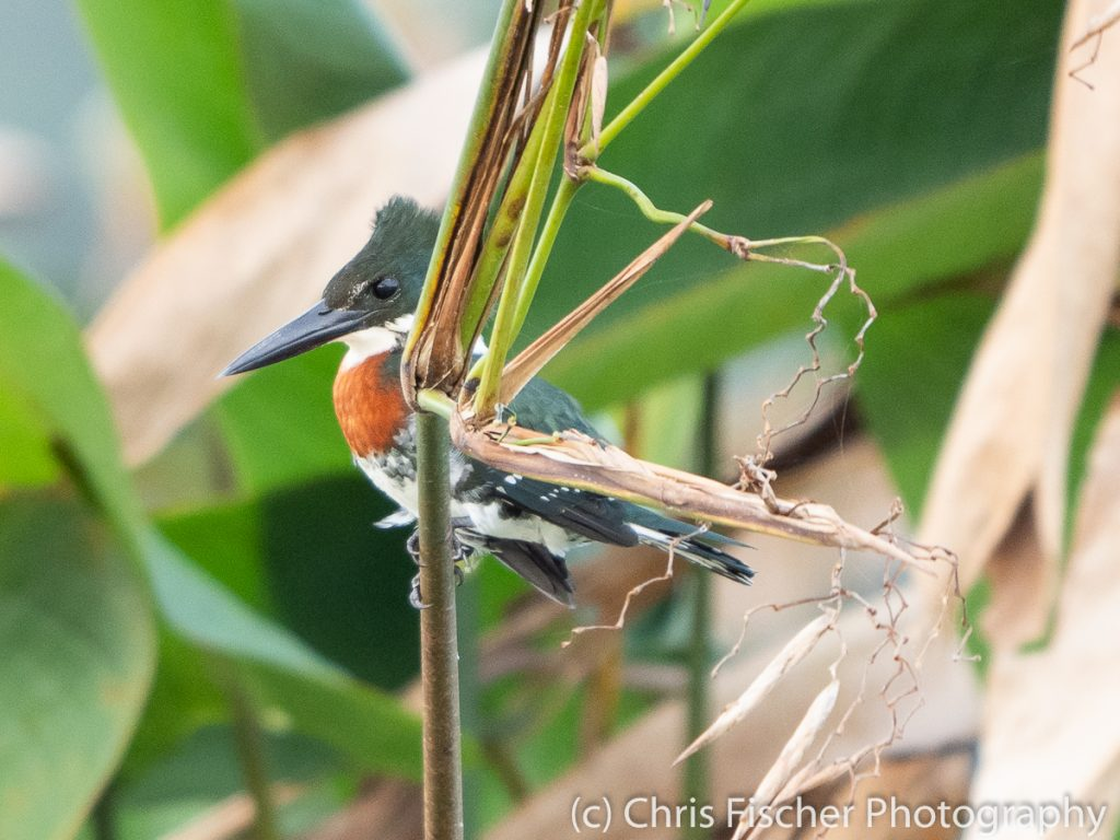 Green Kingfisher, Medio Queso Wetlands, Los Chiles, Costa Rica