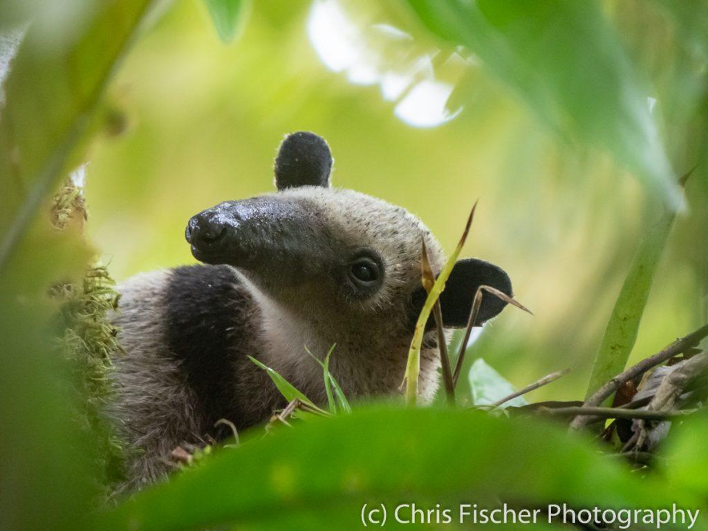 Northern Tamandua (anteater), Sarapiquí, Costa Rica