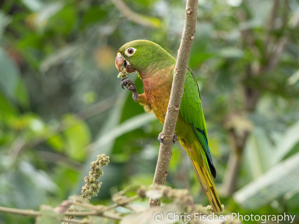 Olive-throated Parakeet, Posada Rural Oasis, Caño Negro Wildlife Refuge, Costa Rica