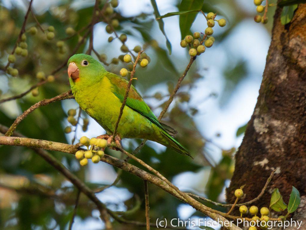 Orange-chinned Parakeet, Posada Rural Oasis, Caño Negro Wildlife Refuge, Costa Rica
