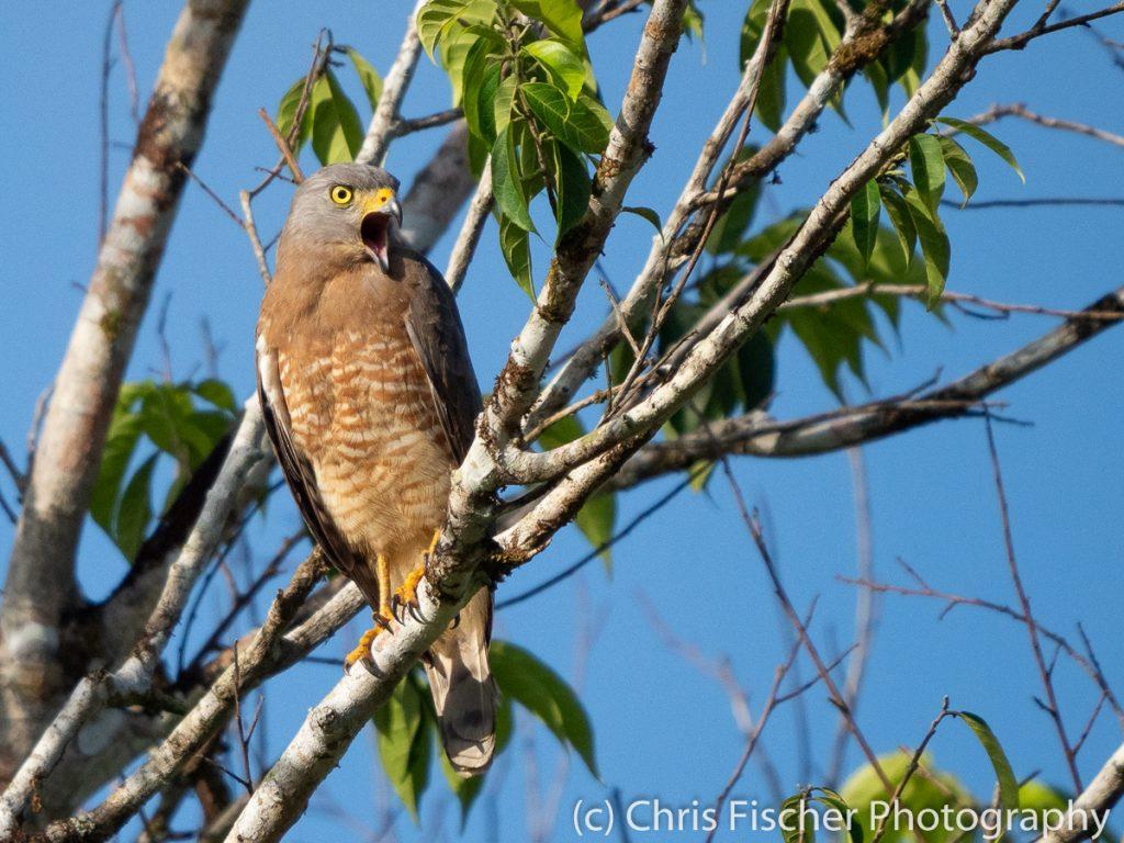 Roadside Hawk, Posada Rural Oasis, Caño Negro Wildlife Refuge, Costa Rica