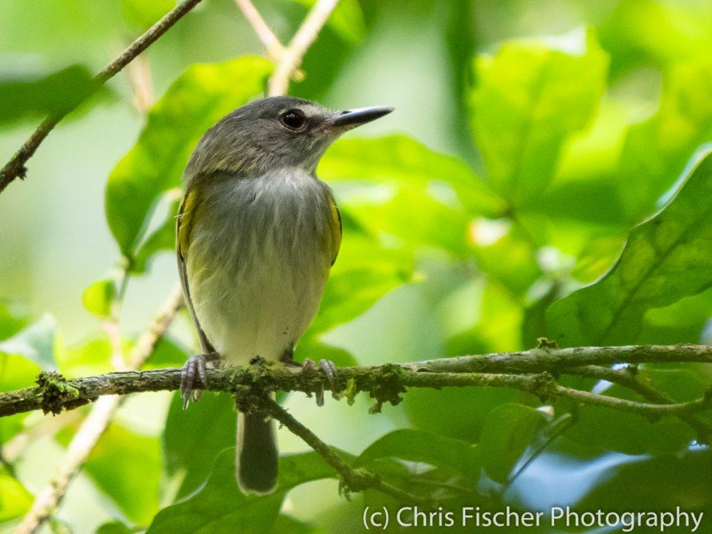 Slate-headed Tody-Flycatcher, Caño Negro Wildlife Refuge, Costa Rica