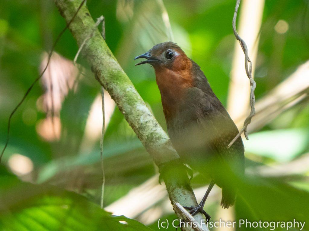 Song Wren, Caño Negro Wildlife Refuge, Costa Rica