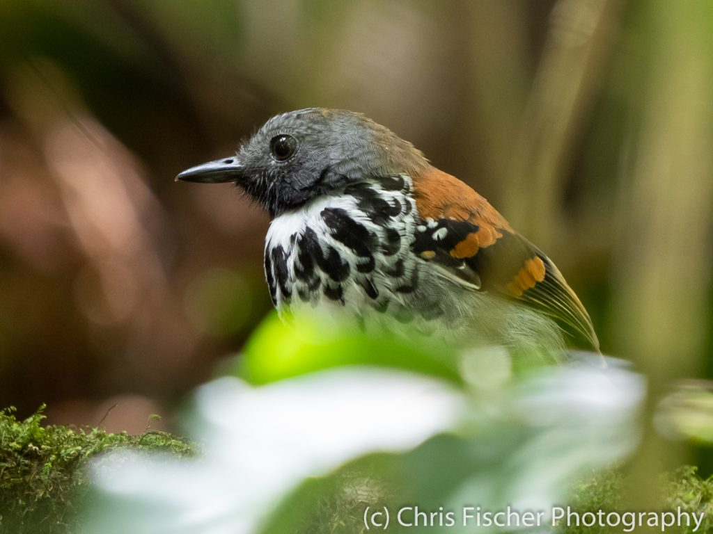 Spotted Antbird, Las Heliconias Rainforest Lodge, Bijagua, Costa Rica