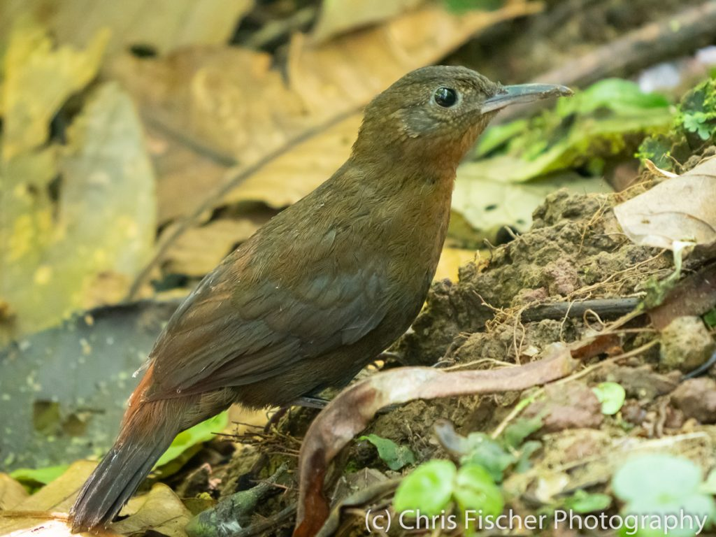 Tawny-throated Leaftosser, Celeste Mountain Lodge, Bijagua, Costa Rica