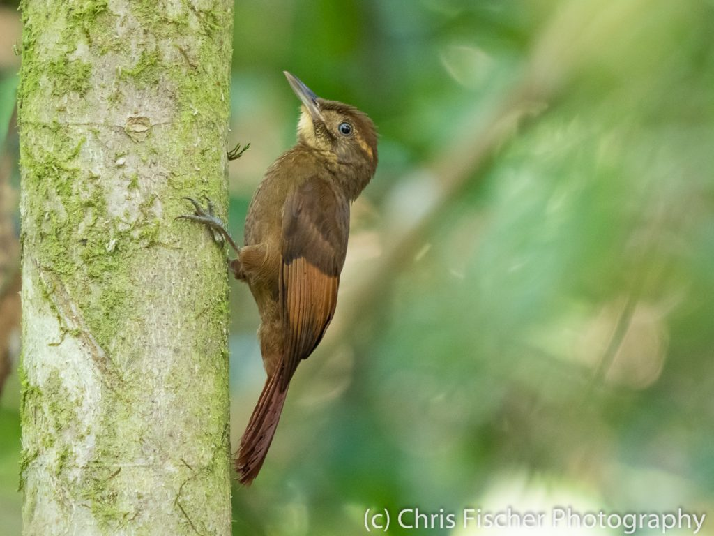 Tawny-winged Woodcreeper, Caño Negro Wildlife Refuge, Costa Rica