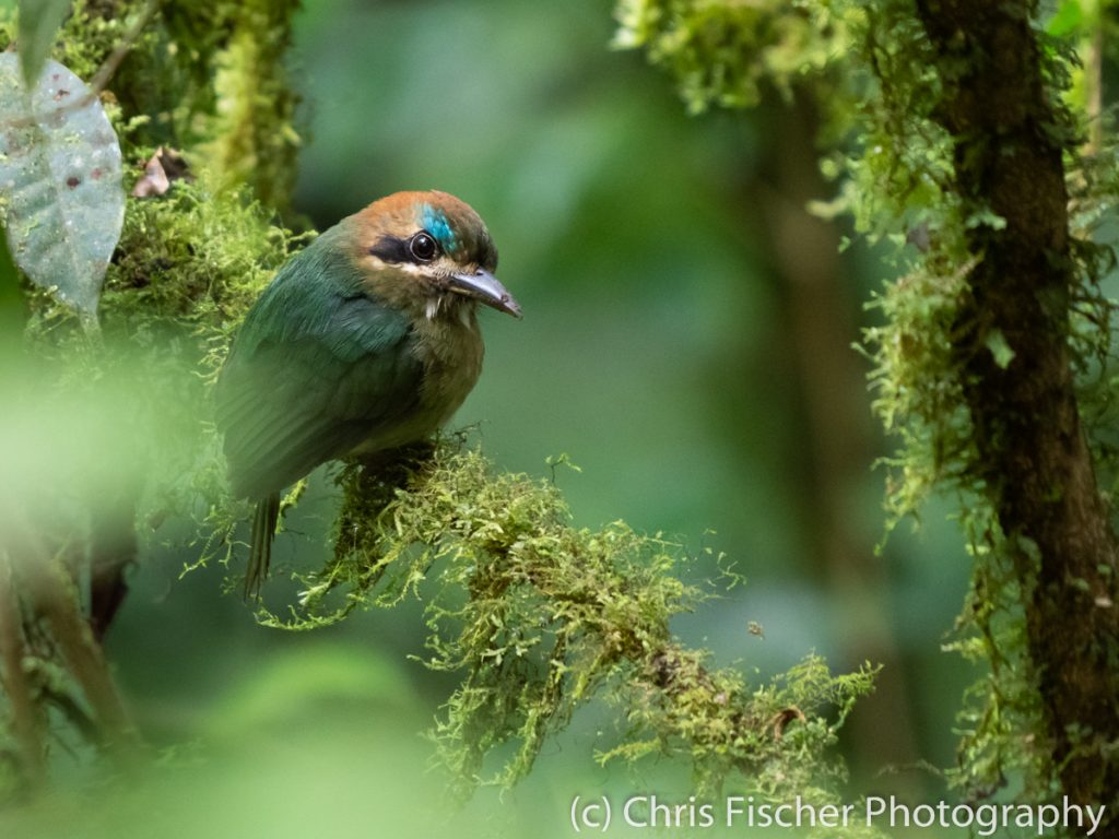 Tody Motmot, Celeste Mountain Lodge, Bijagua, Costa Rica