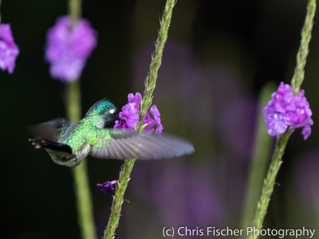 Violet-headed Hummingbird, Las Heliconias Rainforest Lodge, Bijagua, Costa Rica