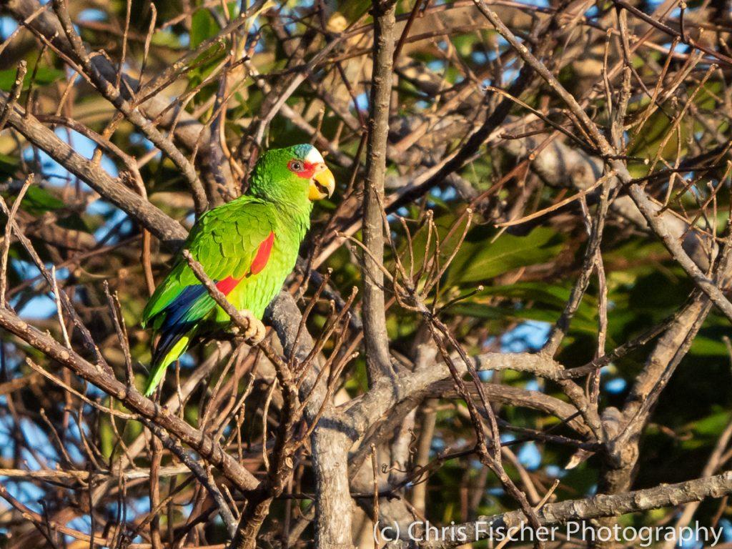 White-fronted Parrot, Campos cerca de Río Chicito, Costa Rica