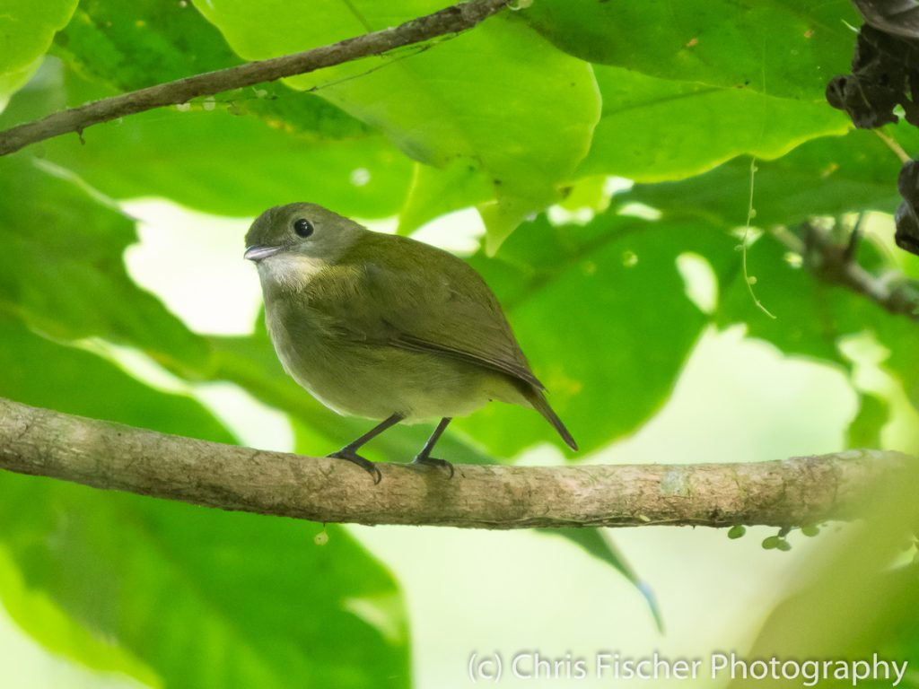 White-ruffed Manakin (female), Celeste Mountain Lodge, Bijagua, Cost Rica