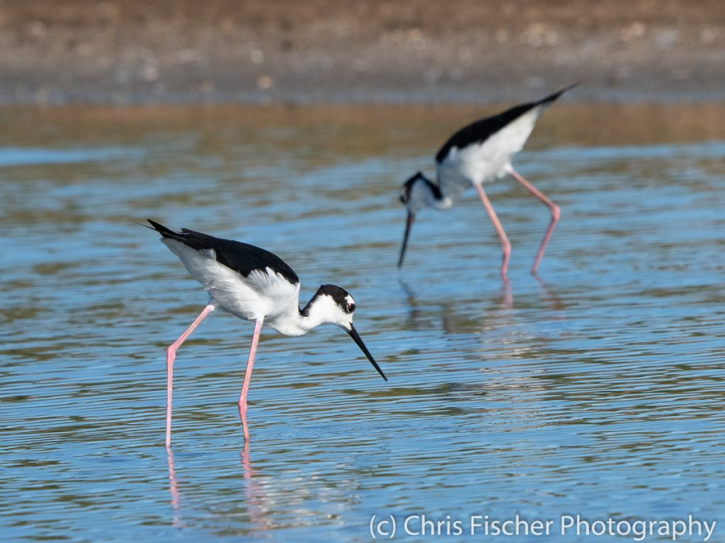 Black-necked Stilt, Punta Morales, Costa Rica
