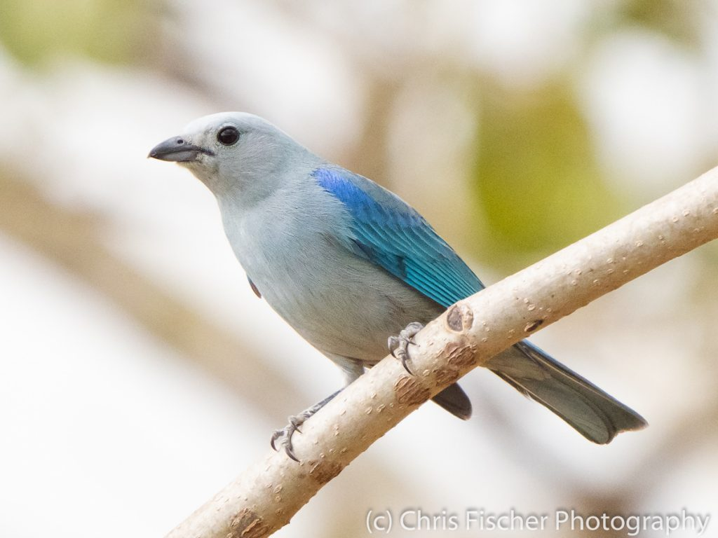 Blue-gray Tanager, Quizarrá, Costa Rica