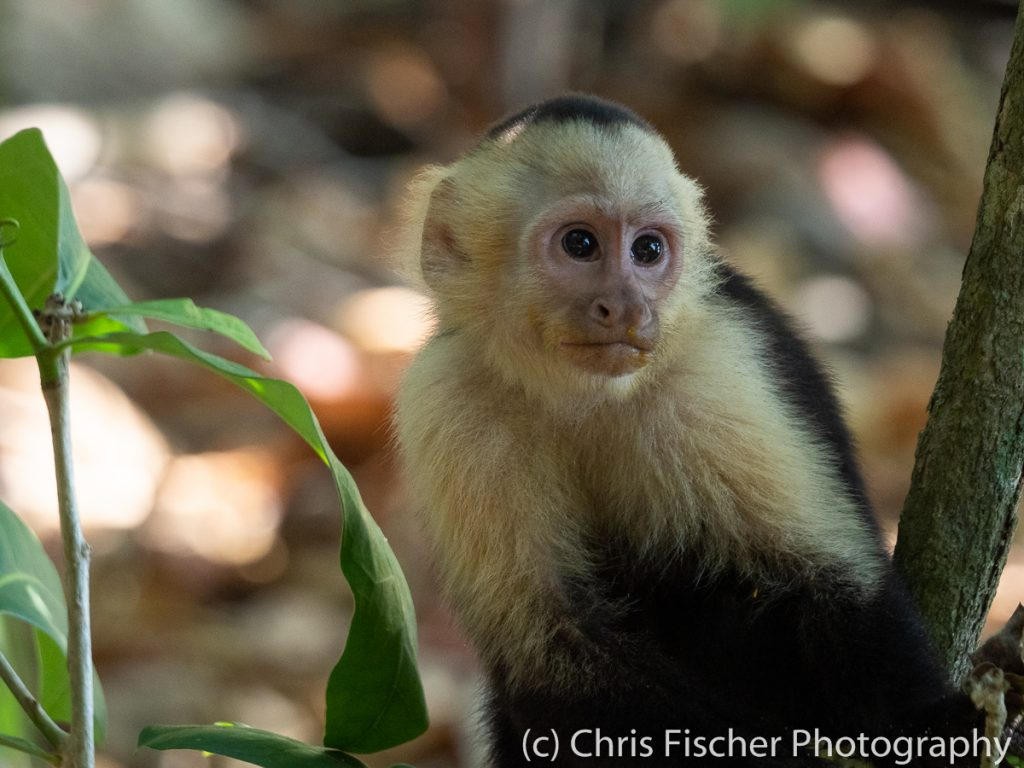 Capuchin Monkey, Manuel Antonio National Park, Costa Rica