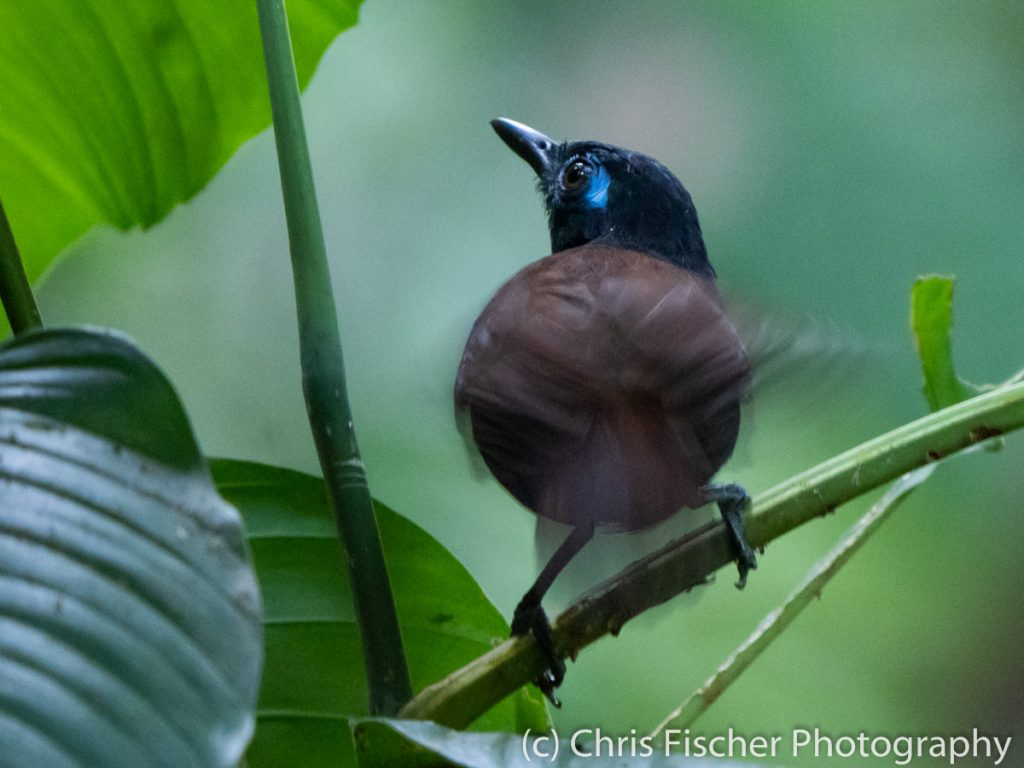 Chestnut-backed Antbird, Manuel Antonio National Park, Costa Rica