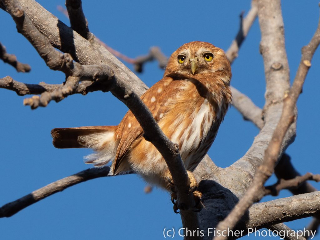 Ferruginous Pygmy-Owl, Punta Morales, Costa Rica