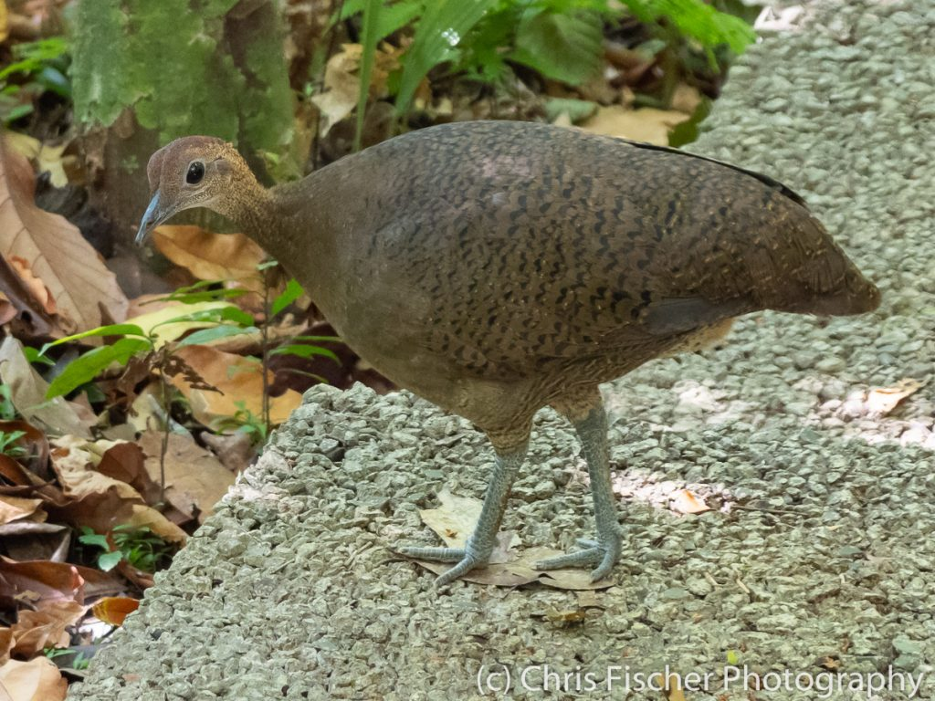 Great Tinamou, Manuel Antonio National Park, Costa Rica