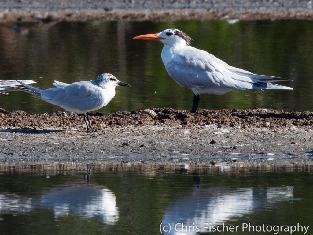 Gull-billed Tern (with Royal Tern), Punta Morales, Costa Rica