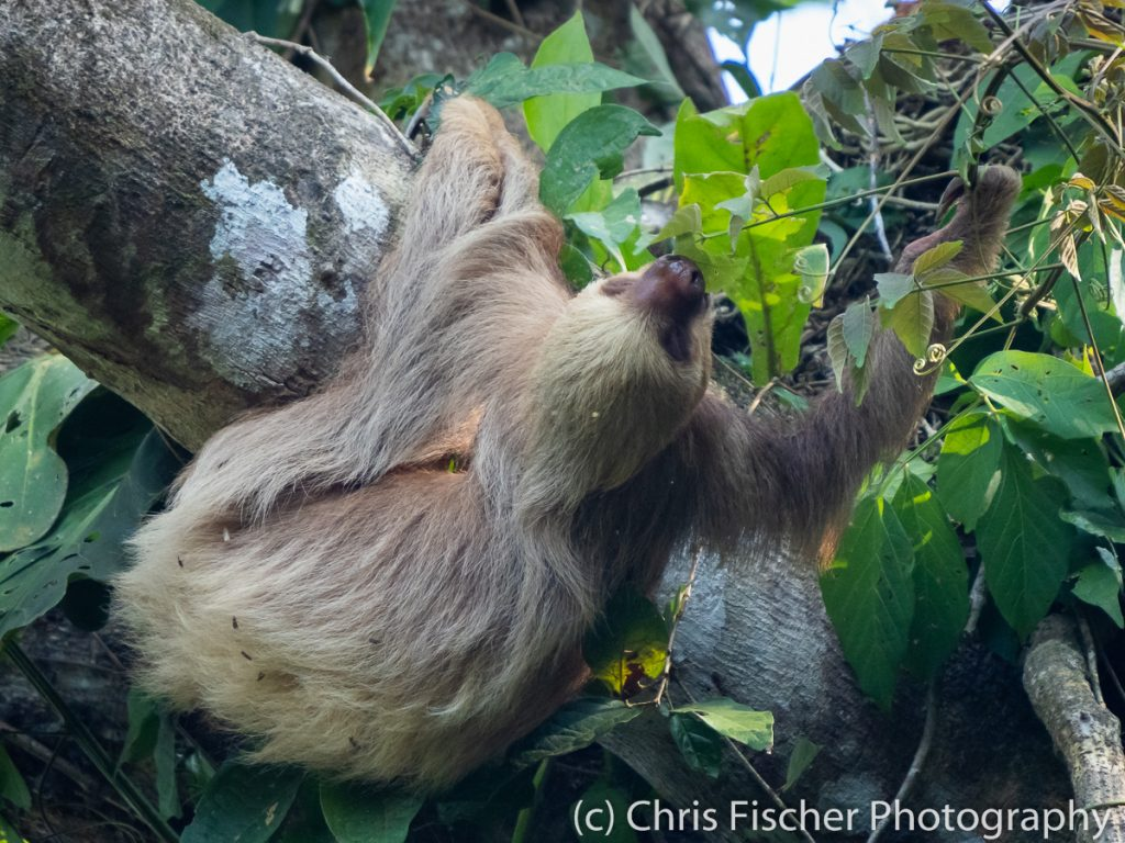 Hoffman's Two-toed Sloth, Manuel Antonio National Park, Costa Rica