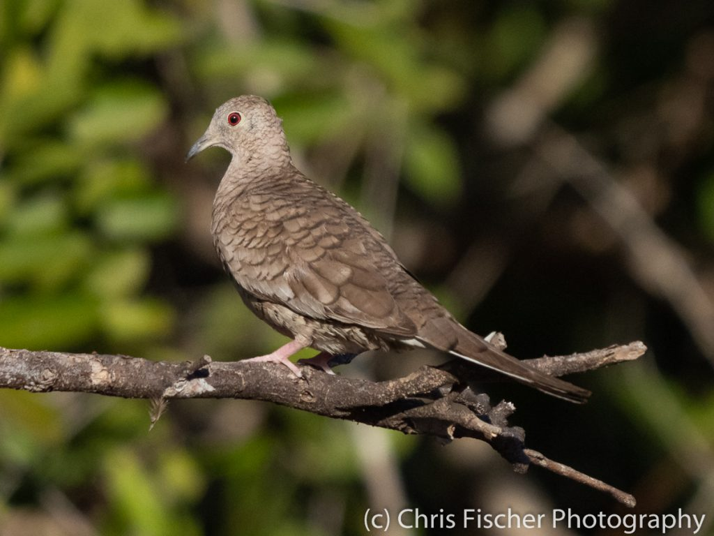 Inca Dove, Punta Morales, Costa Rica