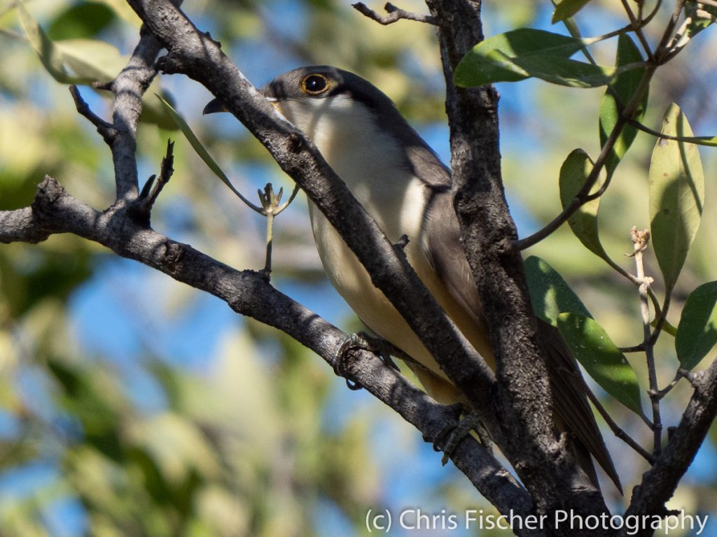 Mangrove Cuckoo, Punta Morales, Costa Rica