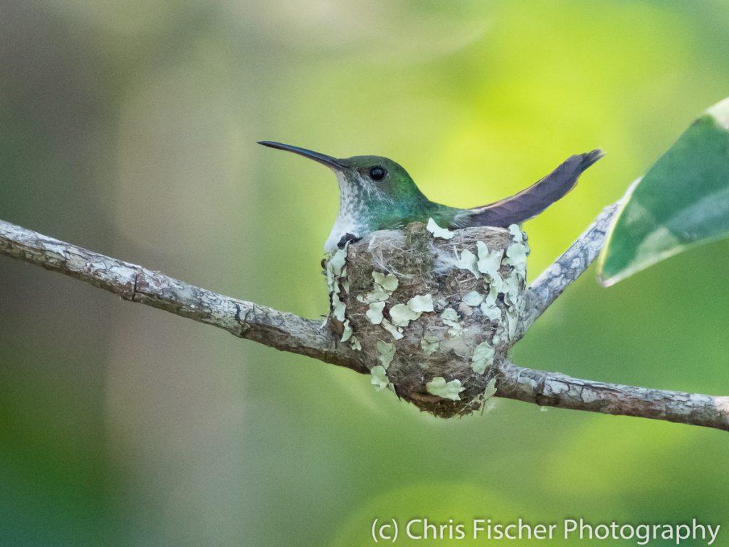 Mangrove Hummingbird, Damas Island Mangroves (near Quepos), Costa Rica