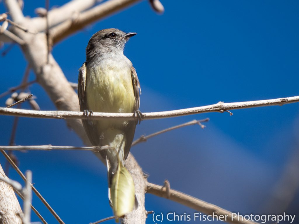 Northern Scrub-Flycatcher, Punta Morales, Costa Rica