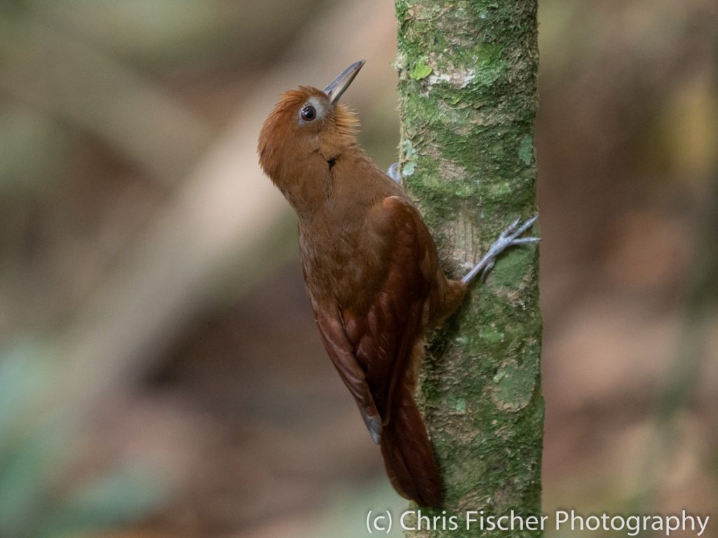 Ruddy Woodcreeper, Los Cusingos Reserve, Costa Rica