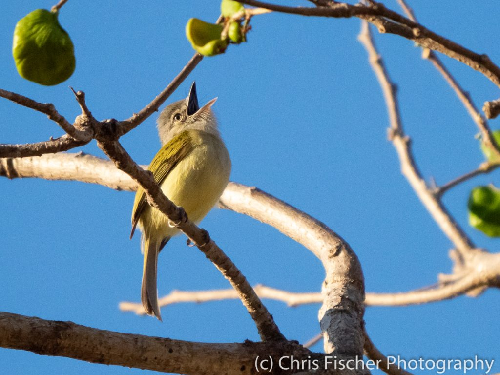Yellow-Olive Flycatcher, Punta Morales, Costa Rica