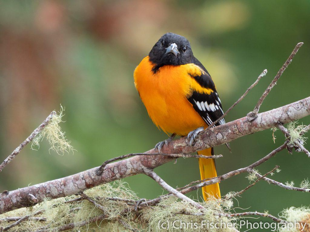 Baltimore Oriole, Bosque del Tolomuco, Costa Rica