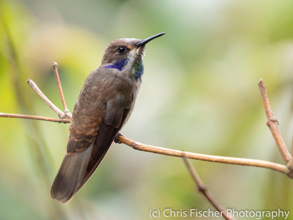 Brown Violetear, Mirador Valle del General, Costa Rica