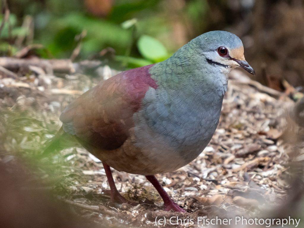 Buff-fronted Quail-Dove, Casa Tangara Dowii Reserve, Costa Rica