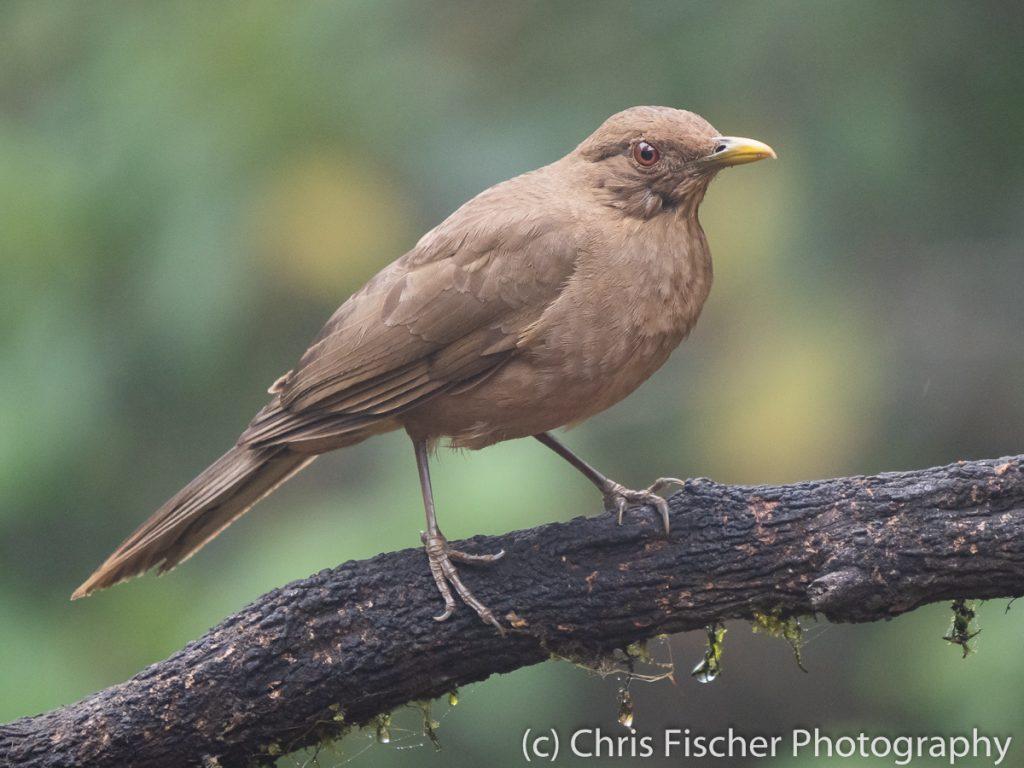 Chestnut-capped Brushfinch, Casa Tangara Dowii Reserve, Costa Rica