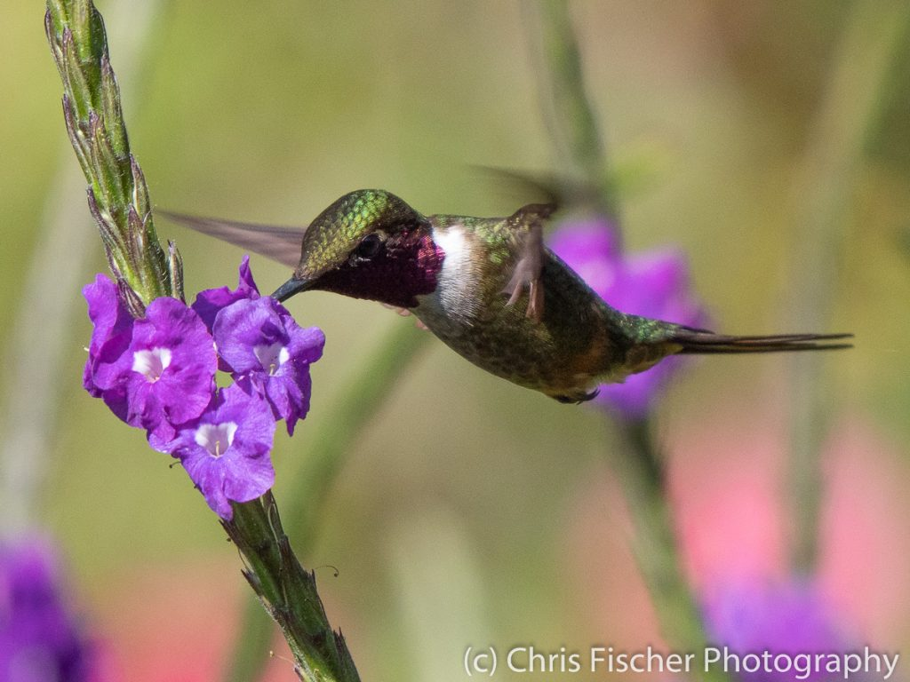 Scintillant Hummingbird, Bosque del Tolomuco, Costa Rica