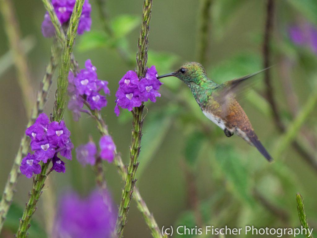Snowy-bellied Hummingbird, Bosque del Tolomuco, Costa Rica