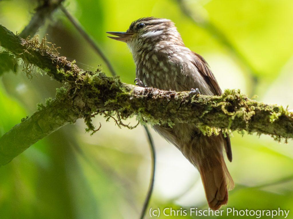 Streaked Xenops, Bosque del Tolomuco, Costa Rica